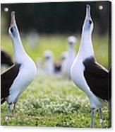 Laysan Albatross Courtship Dance Hawaii Acrylic Print by Tui De Roy