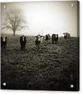 Livestock Acrylic Print by Les Cunliffe