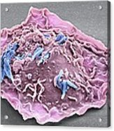 Macrophage Engulfing Tb Bacteria, Sem Acrylic Print by Science Photo Library