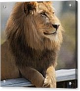 Majestic Lion Acrylic Print by Sharon Foster
