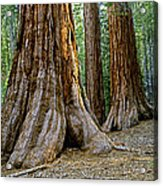 Mariposa Grove Acrylic Print by Bill Gallagher
