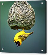 Masked Weaver At Nest Acrylic Print by Johan Swanepoel