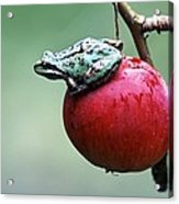 Pacific Tree Frog On A Crab Apple Acrylic Print by David Nunuk