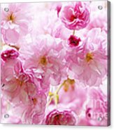Pink Cherry Blossoms  Acrylic Print by Elena Elisseeva