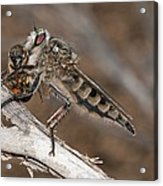 Robber Fly And Prey Acrylic Print by Science Photo Library