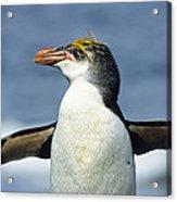 Royal Penguin Macquarie Isl Antarctica Acrylic Print by Konrad Wothe