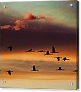 Sandhill Cranes Take The Sunset Flight Acrylic Print by Bill Kesler