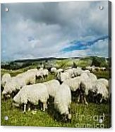 Sheep In The Field Acrylic Print by Jelena Jovanovic