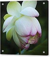 Shy Lotus Acrylic Print by Jean Noren