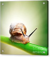 Snail On Green Stem Acrylic Print by Johan Swanepoel