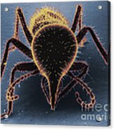 Termite Soldier Acrylic Print by David M. Phillips