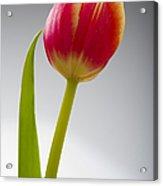Tulip Acrylic Print by Sebastian Musial