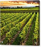 Vineyard At Sunset Acrylic Print by Elena Elisseeva