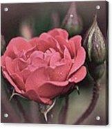 Vintage Rose No. 4 Acrylic Print by Richard Cummings