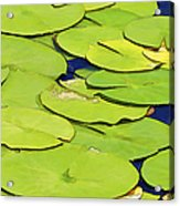 Water Lilly Acrylic Print by David Letts