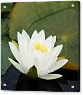 White Water Lily Acrylic Print by Matt Dobson