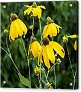 Yellow Cone Flowers Rudbeckia Acrylic Print by Rich Franco