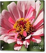 Zinnia From The Whirlygig Mix Acrylic Print by J McCombie