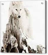 Arctic Wolf Pup Acrylic Print by Wolves Only