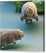 Water Bear Acrylic Print by Eye of Science and Science Source