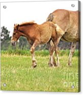 A Mare And Her Colt Acrylic Print by Penny Neimiller