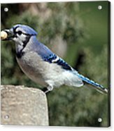 Bluejay Acrylic Print by Jim Nelson