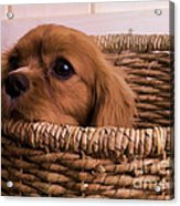 Cavalier King Charles Spaniel Puppy In Basket Acrylic Print by Edward Fielding