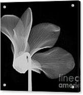 Cyclamen Flower X-ray Acrylic Print by Bert Myers