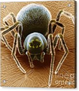 Dictynid Spider Acrylic Print by David M. Phillips