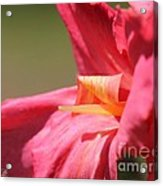 Dwarf Canna Lily Named Shining Pink Acrylic Print by J McCombie