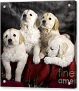 Festive Puppies Acrylic Print by Angel  Tarantella
