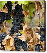 Gamay Noir Grapes Acrylic Print by Kevin Miller