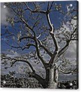Ghost Tree Acrylic Print by Debra and Dave Vanderlaan
