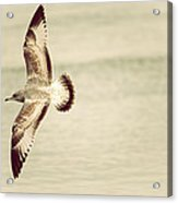 Herring Gull In Flight Acrylic Print by Karol Livote
