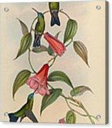 Hummingbirds Acrylic Print by Philip Ralley