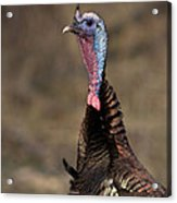 Jake Eastern Wild Turkey Acrylic Print by Linda Freshwaters Arndt