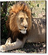 Male Lion On The Masai Mara  Acrylic Print by Aidan Moran