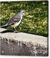 Mockingbird Acrylic Print by Robert Bales