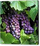 Pinot Gris Grapes Acrylic Print by Kevin Miller