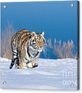 Siberian Tiger Acrylic Print by Alan Carey
