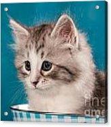 Sibirian Cat Kitten Acrylic Print by Doreen Zorn