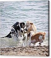 Three Dogs Playing On Beach Acrylic Print by Elena Elisseeva