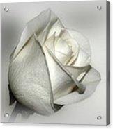 White Rose Acrylic Print by Sandy Keeton