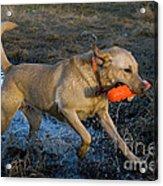 Yellow Labrador Acrylic Print by Linda Freshwaters Arndt