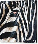 Zebra Acrylic Print by Ilse Kleyn