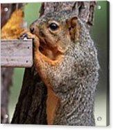 Eastern Fox Squirrel Acrylic Print by Jack R Brock
