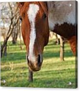 Paint Stallion Acrylic Print by Thea Wolff