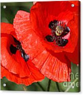 Beautiful Poppies 2 Acrylic Print by Carol Lynch