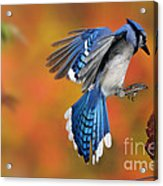 Blue Jay Acrylic Print by Scott Linstead