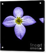 Bluets Acrylic Print by Thomas R Fletcher